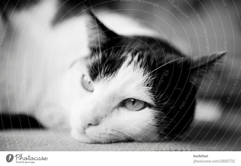 Faulpelz Katze schön weiß Erholung Tier ruhig schwarz Liebe natürlich Denken Freundschaft Zufriedenheit liegen authentisch Warmherzigkeit beobachten