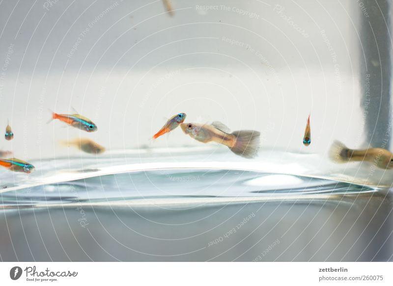Füsche Zufriedenheit Erholung Freizeit & Hobby Häusliches Leben Wohnung Wasser Aquarium Tiergruppe Schwarm gut unten Aquaristik becken fisch glas guppie guppy