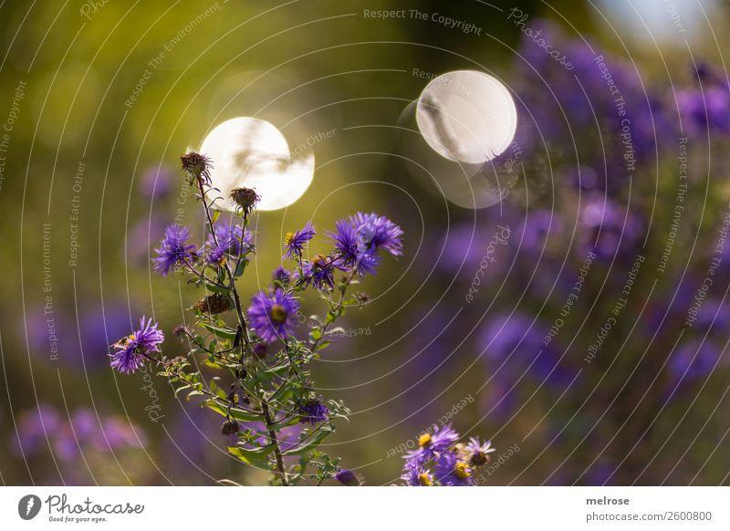 Herbstblume mit Bokeh Natur Sonnenlicht Schönes Wetter Pflanze Blume Sträucher Blüte Wildpflanze Topfpflanze Korbblütengewächs Park Unschärfe Lichtspiel