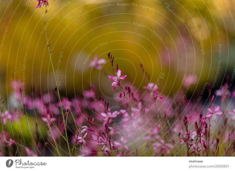 zarte rosa Blüte Natur Herbst Schönes Wetter Pflanze Blume Sträucher Wildpflanze Blütenpflanze Park Bokeh Farbstoff gelbgold pastellig Pastellton auf Augenhöhe