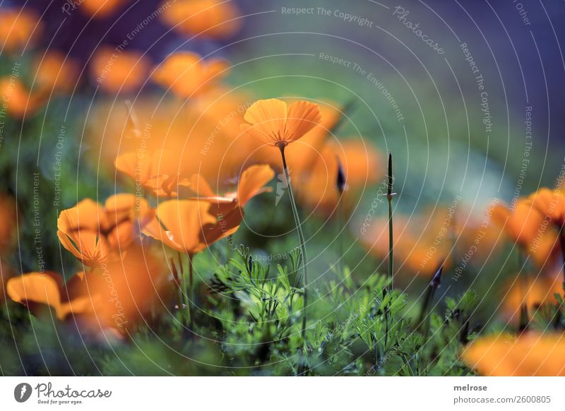 Mohn orange-lila Lebensmittel Natur Pflanze Herbst Schönes Wetter Blume Gras Sträucher Blüte Wildpflanze Mohnblüte Blütenpflanze Stauden Blütenstiel Garten