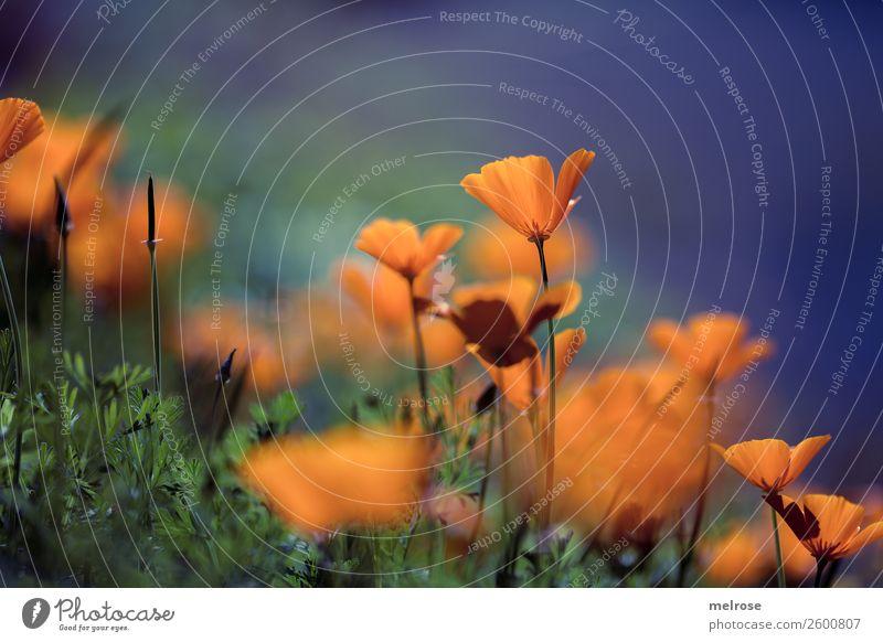 Mohn orange-lila Natur Pflanze Herbst Schönes Wetter Gras Blüte Wildpflanze Mohnblüte Stauden Blütenpflanze Garten knallige Farben Farbenspiel auf Augenhöhe