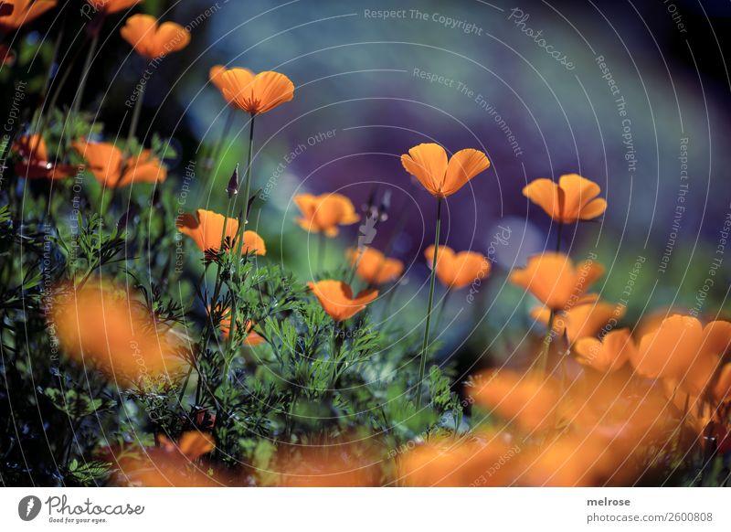 Mohn orange-lila Lebensmittel Natur Pflanze Herbst Schönes Wetter Blume Gras Sträucher Blüte Wildpflanze Blütenpflanze Stauden Blütenstiel Pflanzenteile
