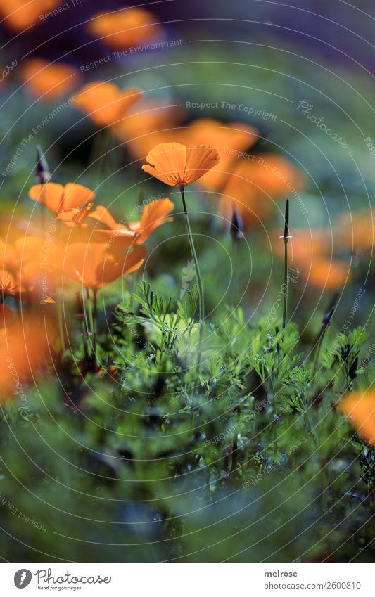 Mohn orange-lila Natur Pflanze Farbe schön grün Sonne Blume Lebensmittel Herbst Blüte Gras Garten leuchten träumen