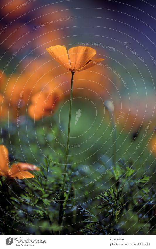 Mohn orange-lila Lebensmittel Natur Pflanze Herbst Schönes Wetter Gras Sträucher Blüte Wildpflanze Mohnblüte Blütenpflanze Bananenstaude Blütenstiel Garten