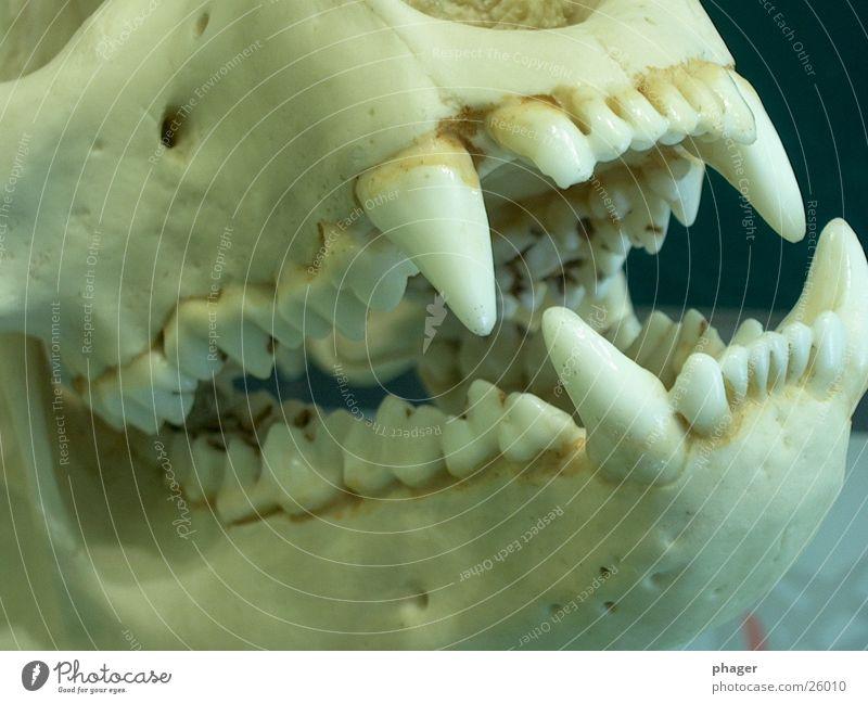 kuscheltier? Tod gefährlich Spitze Gebiss beißen Mensch Skelett Bär Kiefer Schädel Reißzahn Panda