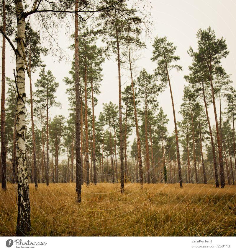 tja, Bäume halt Natur Landschaft Tier Erde Himmel Herbst Pflanze Baum Gras Wald Holz braun gelb grau grün Birke Kiefer Baumstamm Baumkrone Quadrat mehrfarbig