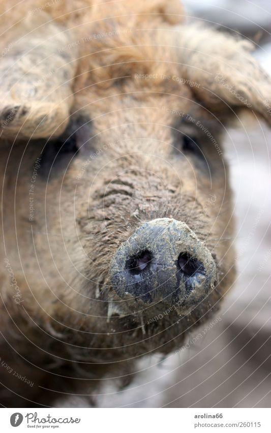Immer der Nase nach Erde Tier Nutztier Tiergesicht Zoo Wollschwein Schweinschnauze 1 dreckig frech Glück nass natürlich Neugier schleimig braun schwarz