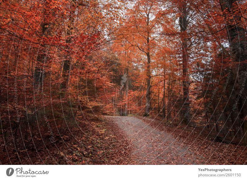 Allee durchquert den Herbstwald Natur Landschaft Baum Blatt Park Wald Straße frei schön orange rot Stimmung Fröhlichkeit Fussen Deutschland Oktober Gasse