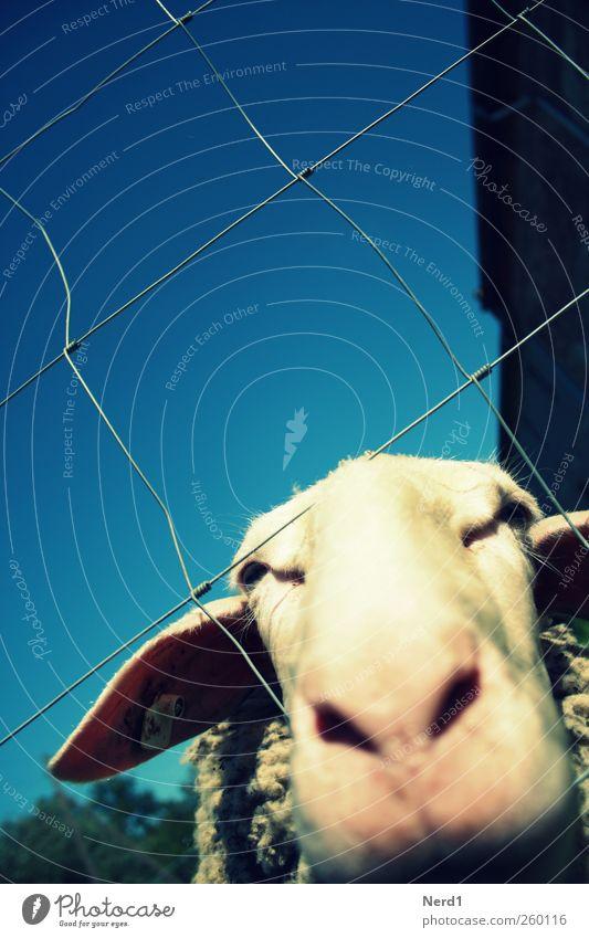 Sheep Ausflug Sommer Tier Nutztier Tiergesicht Fell 1 Blick niedlich blau weiß Schaf Zaun Himmel Farbfoto mehrfarbig Außenaufnahme Nahaufnahme Experiment