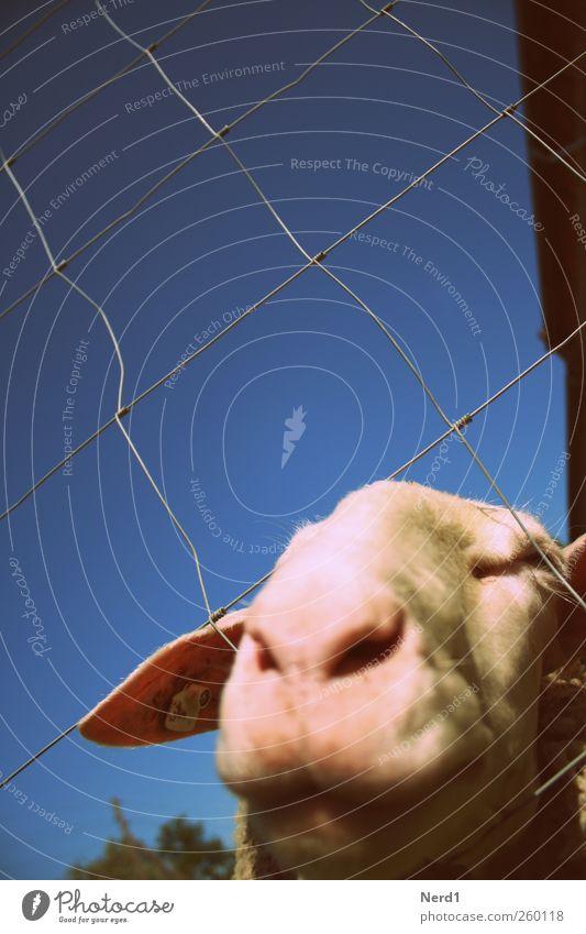 Sheep1 Himmel blau weiß Tier Wärme rosa Fell Tiergesicht Schaf füttern