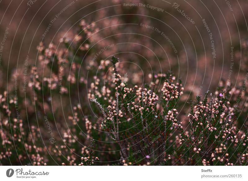Heidefarben im September Calluna Heidestimmung Sträucher Sommerende Calluna Vulgaris dunkel braunrosa heimisch nordisch natürlich Herbstbeginn herbstlich