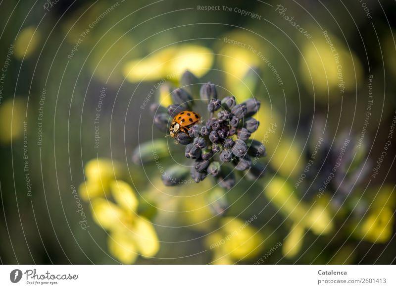 Schwere Zeiten Natur Pflanze Tier Herbst Blatt Blüte Grünpflanze Nutzpflanze Gemüse Brokkoli Brokkoliblüte Garten Gemüsegarten Käfer Marienkäfer 1 Blühend