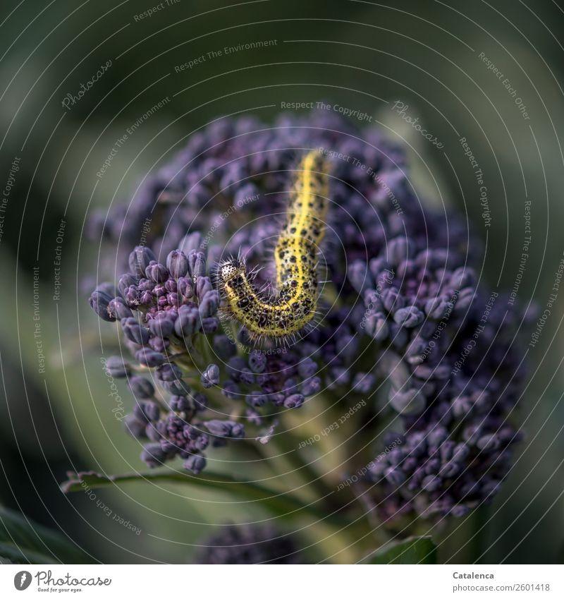 Nimmersatt Natur Sommer Pflanze grün Tier schwarz gelb natürlich Garten Vergänglichkeit violett Fressen Nutzpflanze Ärger Raupe Brokkoli