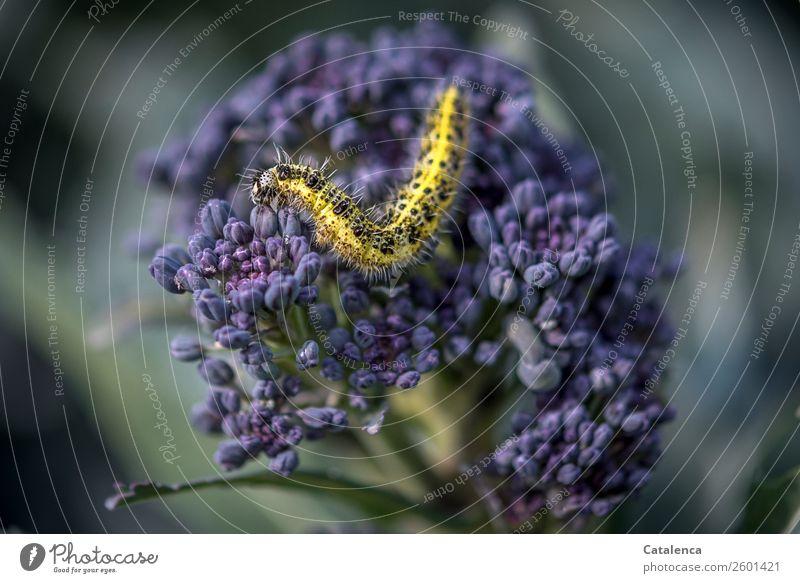 Verwandlung | steht noch bevor Natur Pflanze Tier Sommer Blatt Blüte Nutzpflanze Gemüse Brokkoli Lila Broccoli Garten Gemüsegarten Raupe Kohlweißling 1 Bewegung