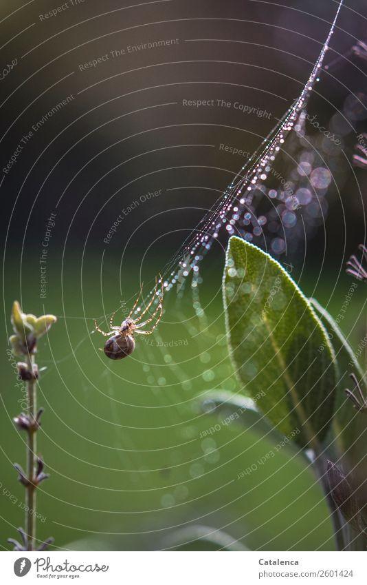 Regnerisch Natur Pflanze Tier Urelemente Wassertropfen Sommer schlechtes Wetter Regen Blatt Blüte Salbei Salbeiblatt Garten Spinne 1 Spinnennetz beobachten