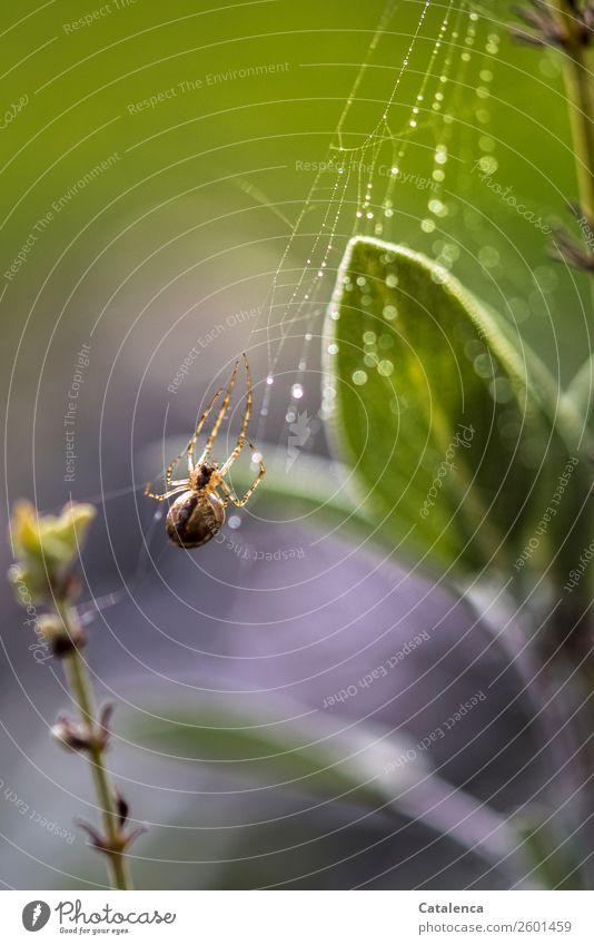 Ein Spinnchen Natur Pflanze Tier Wassertropfen Herbst Blatt Salbei Garten Gemüsegarten Spinne 1 Spinnennetz Tau Regen beobachten hängen schön nass braun grau