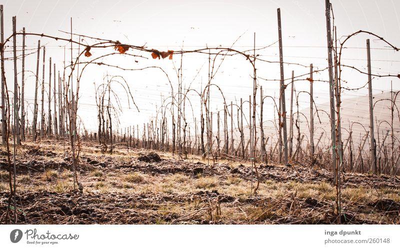 Eiswein Umwelt Natur Landschaft Pflanze Winter Gras Sträucher Nutzpflanze Wein Weinberg Ernte Ackerbau Landwirtschaft Deutschland Feld Hügel Berge u. Gebirge