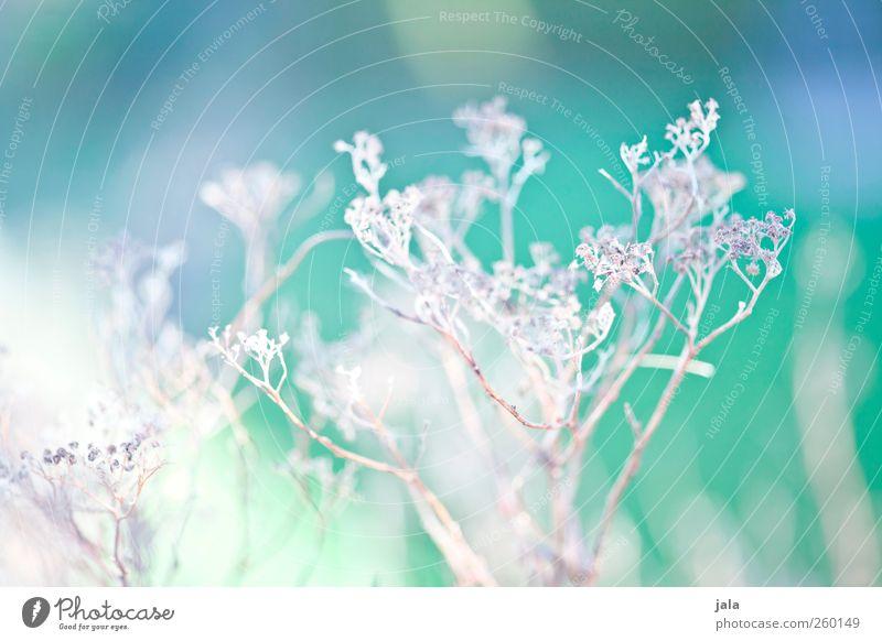 dried flowers Natur blau grün Pflanze Blume Umwelt Gras Frühling hell natürlich Wildpflanze