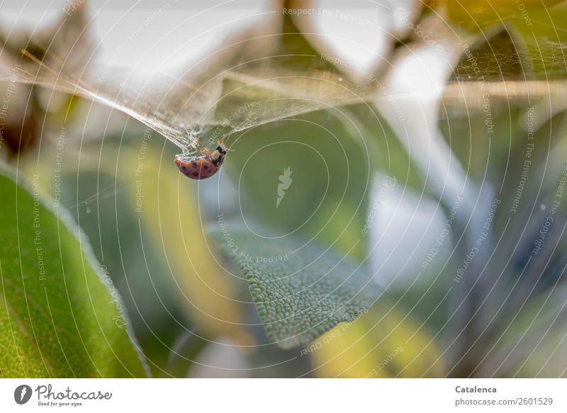 Komplex | die Eigenschaften eines Spinnenfadens Natur Pflanze Tier Sommer Blatt Nutzpflanze Salbei Kräuter & Gewürze Garten Käfer Marienkäfer 1 Spinnennetz