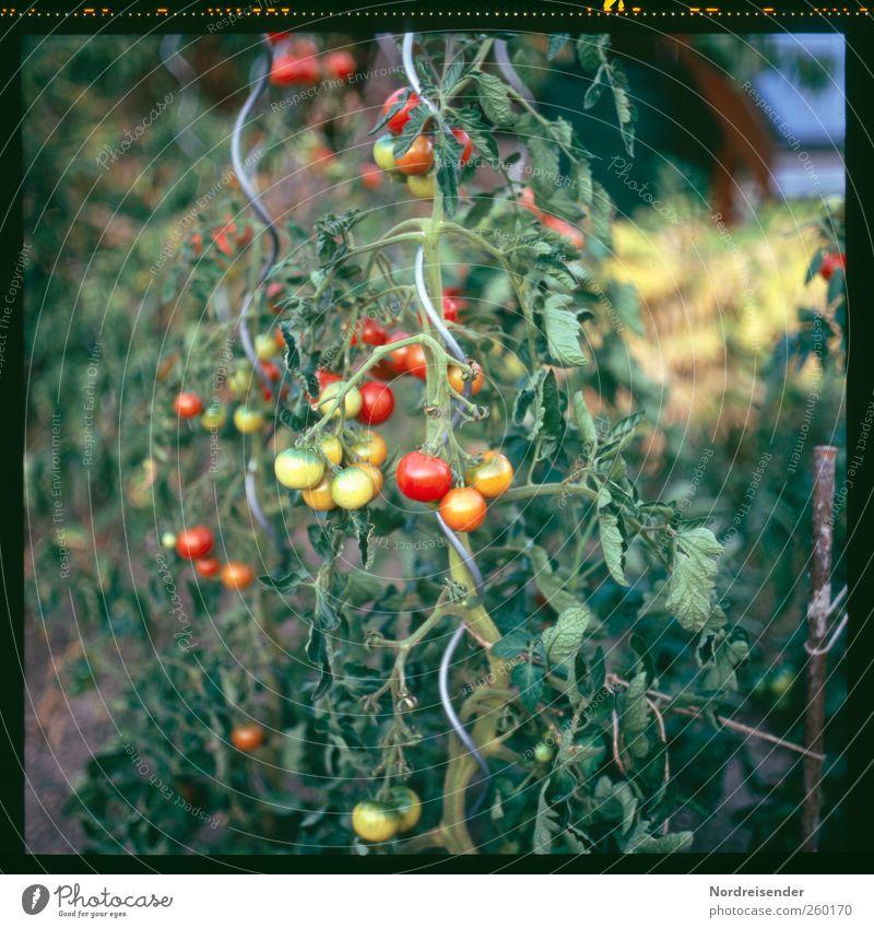 Sommer Lebensmittel Gemüse Ernährung Bioprodukte Vegetarische Ernährung Freizeit & Hobby Garten Gartenarbeit Natur Pflanze Nutzpflanze Wachstum lecker