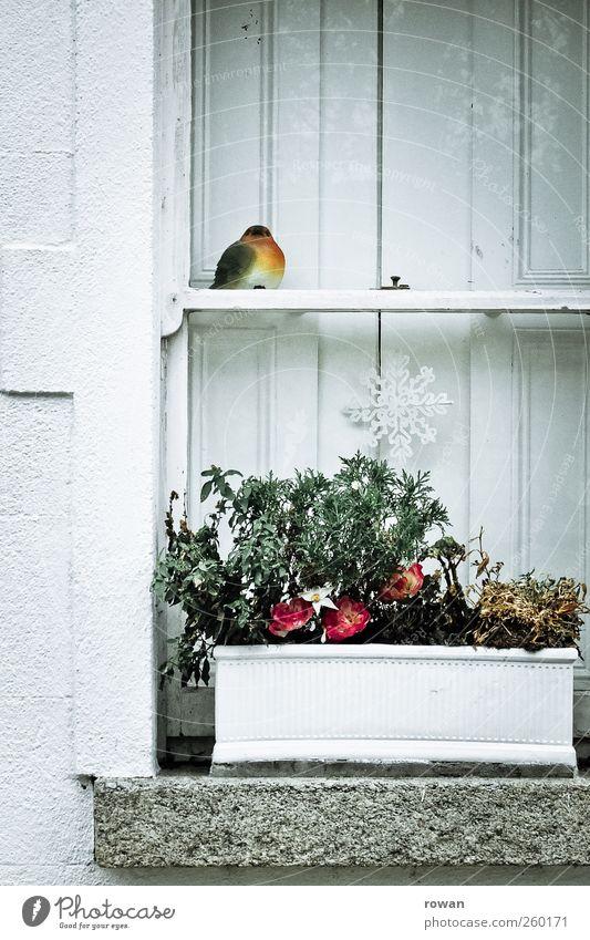 fenstervogel Pflanze Blume Topfpflanze Dorf Haus Bauwerk Architektur Mauer Wand Fenster alt schön Klischee Fensterbrett weiß Idylle Häusliches Leben Vogel