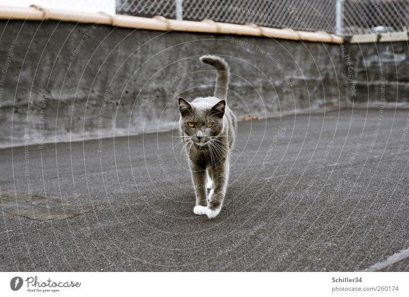 Catwalk Katze Stadt schön Tier Haus grau gehen elegant ästhetisch Dach Fell Zaun Terrasse Haustier Pfote Stolz