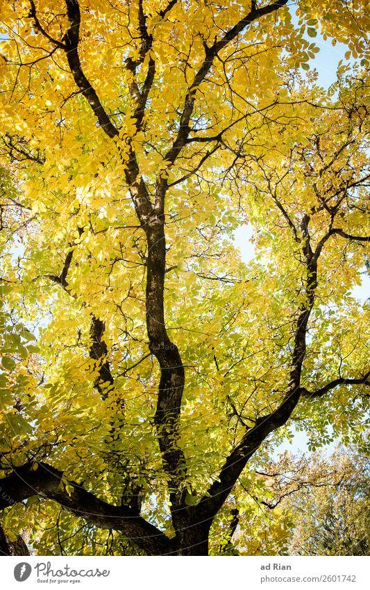 Baum von unten im Herbst Blatt Natur Ast abstrakt Außenaufnahme frisch Hintergrund neutral grün Garten Pflanze Adern