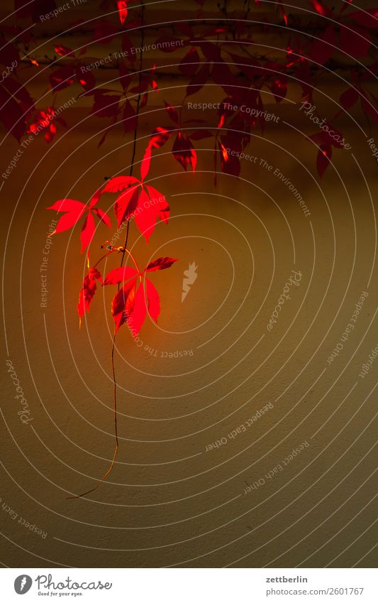 Rotes Herbstlaub Blatt Wein Weinblatt rot Ranke Schrebergarten Menschenleer Natur Pflanze ruhig Sträucher Textfreiraum Zweig Haus Wand Fassade Oktober