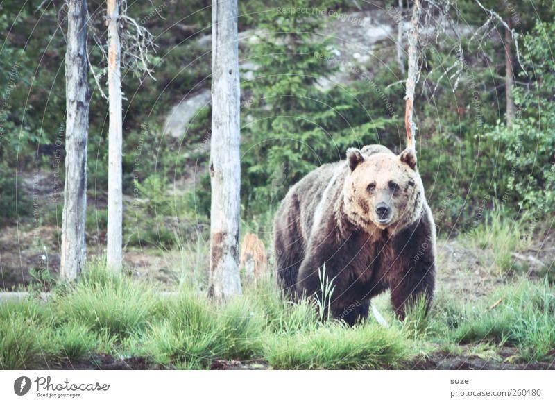 Teddy Jagd Umwelt Natur Landschaft Tier Wiese Wald Fell Wildtier 1 beobachten authentisch bedrohlich groß Neugier stark wild braun grün Kraft Appetit & Hunger