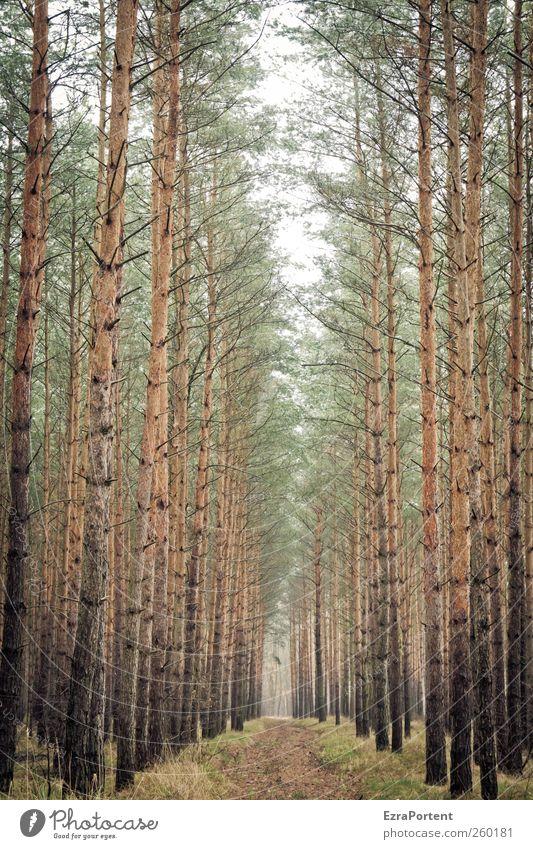 Wo geht`s hin ? Natur Landschaft Tier Erde Herbst Winter Pflanze Baum Grünpflanze Nutzpflanze Wege & Pfade Holz braun grau grün Kiefer Baumstamm Baumkrone