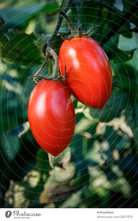 Zwei Dattel-Tomaten am Strauch Lebensmittel Gemüse Bioprodukte Vegetarische Ernährung Sommer Herbst Pflanze Sträucher Nutzpflanze wählen beobachten hängen rot