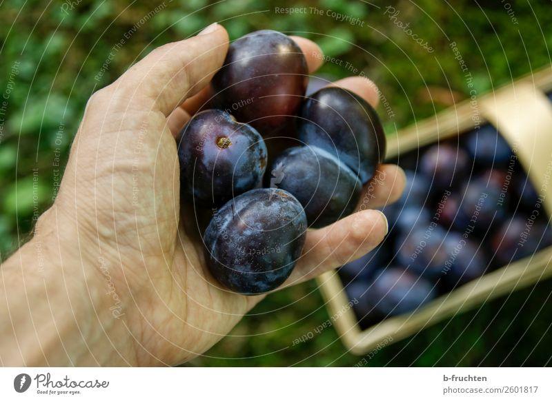 Zwetschgen Lebensmittel Frucht Bioprodukte Vegetarische Ernährung Gesunde Ernährung Mann Erwachsene Hand Finger Gras Arbeit & Erwerbstätigkeit wählen festhalten