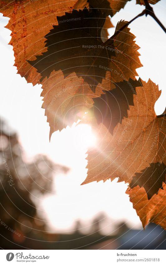 Weinlaub - Herbststimmung Natur Sonne Sonnenlicht Pflanze Blatt Garten Park glänzend Blick Wärme braun Verfall Vergänglichkeit Wandel & Veränderung Weinblatt