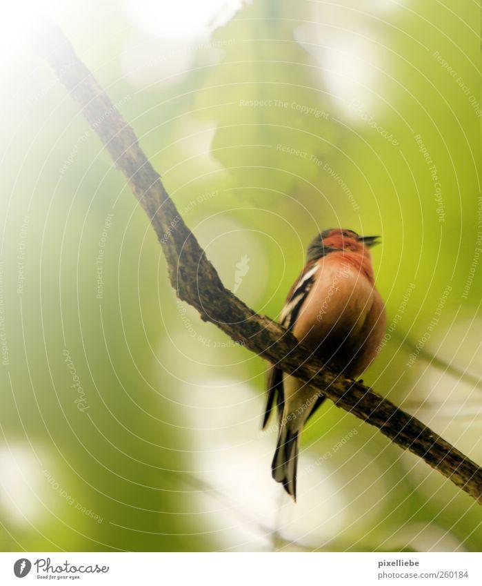 Frühlingsgefühle Umwelt Natur Tier Sonne Sonnenlicht Baum Vogel Flügel 1 Brunft hocken sitzen exotisch Tierliebe Idylle Umweltschutz Ast singen Gezwitscher
