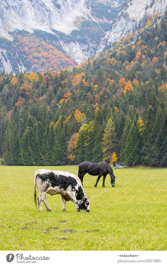 Kuh und Pferd Umwelt Natur Landschaft Pflanze Tier Herbst Baum Gras Wiese Wald Felsen Alpen Berge u. Gebirge 2 Fressen gelb gold grün orange rot Weide Vieh