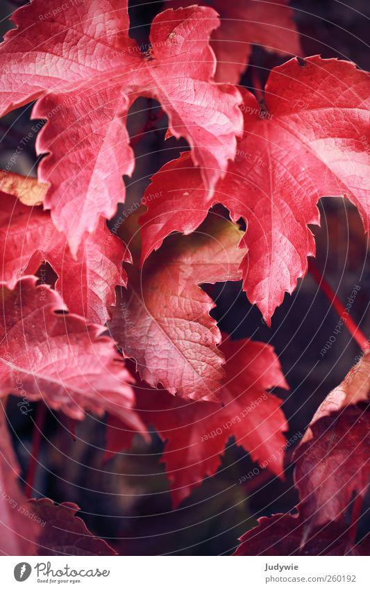 so ROT Umwelt Natur Herbst Pflanze Efeu Blatt Wilder Wein Mauer Wand hängen Wachstum natürlich rot Farbe Idylle Vergänglichkeit Wandel & Veränderung färben