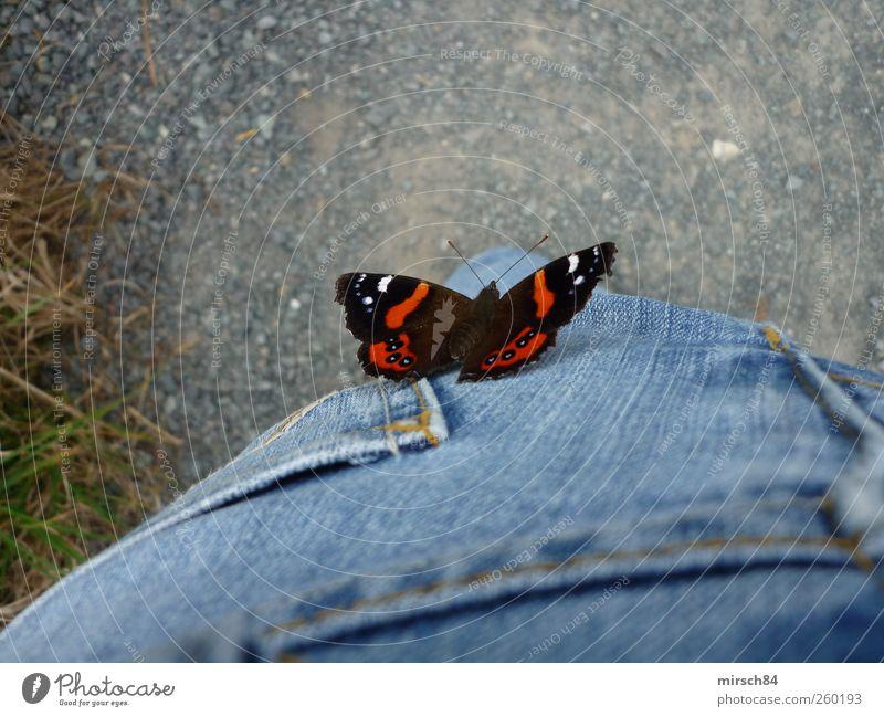 Schmetterling 1 Tier fliegen blau rot Leichtigkeit mehrfarbig Nahaufnahme Tierporträt