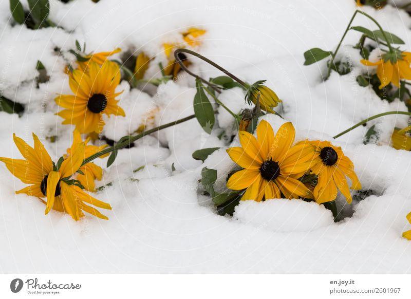 zu früh Natur Pflanze Winter Klima Klimawandel Wetter Schnee Blume Blüte kalt gelb Glaube Religion & Glaube Hoffnung Schutz Überleben Umwelt Vergänglichkeit