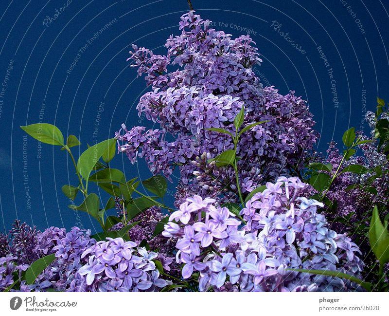 flieder fladern Himmel Sommer Blatt Blüte Frühling Sträucher violett Blühend Duft entwenden Fliederbusch Doldenblüte Sommerflieder