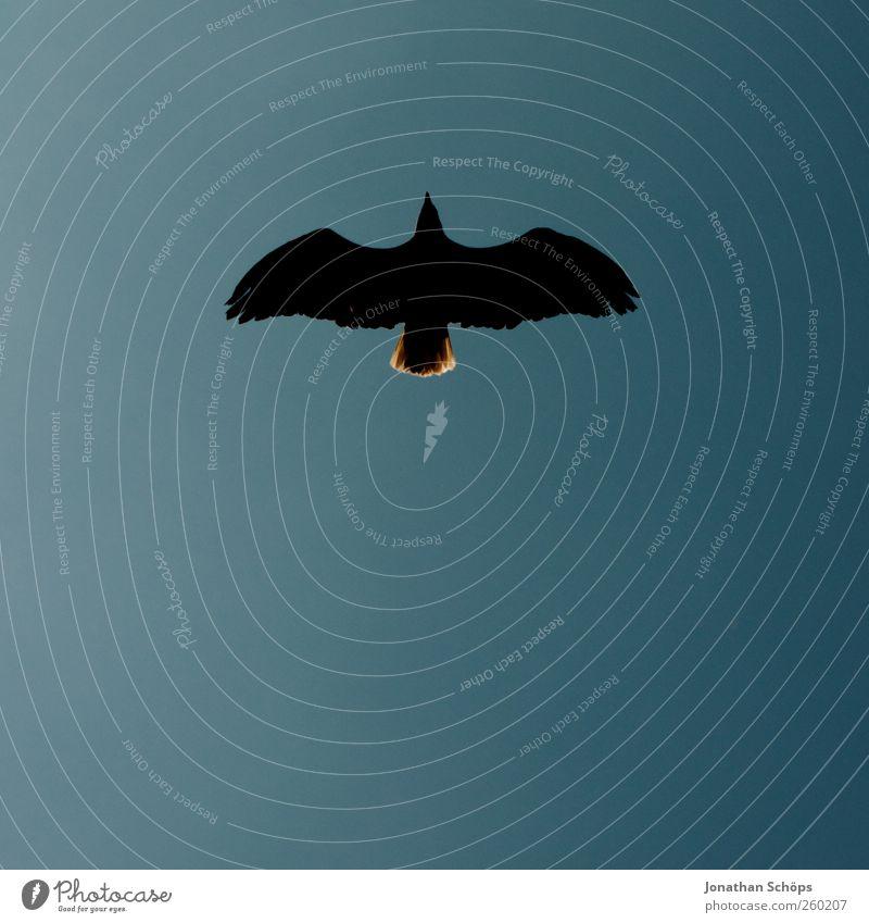 looks like a moustache Himmel Natur blau Tier schwarz Ferne Vogel elegant fliegen ästhetisch Perspektive Macht Flügel bedrohlich einzigartig Symbole & Metaphern