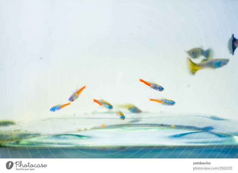 Füsch again Wasser Tier Aquarium Schwarm gut unten Aquaristik becken fisch glas guppie guppy neonfisch wallroth Wasserbecken Farbfoto mehrfarbig Innenaufnahme