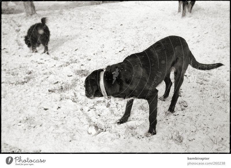 Two and a Half Dogs Natur Eis Frost Schnee Tier Haustier Hund 2 3 schwarz weiß kalt analog Schwarzweißfoto Außenaufnahme Blick nach hinten Wegsehen