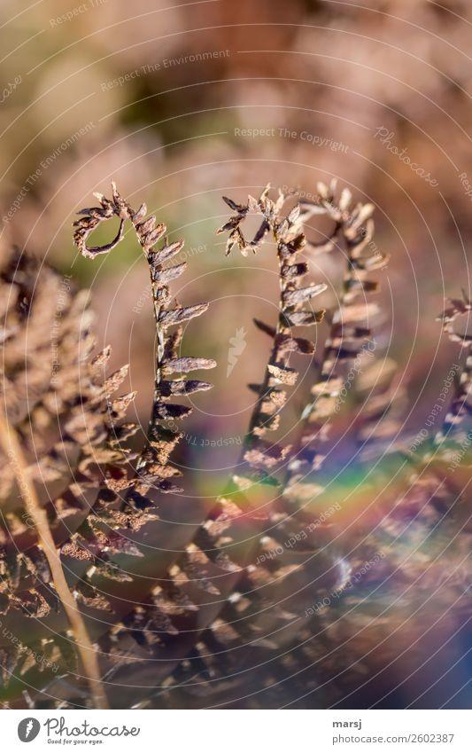 Sogar im Herbst kringeln sie sich wieder. Natur Pflanze Farn Wildpflanze verblüht Überraschung träumen Traurigkeit Sorge Trauer Senior Tod Vergänglichkeit