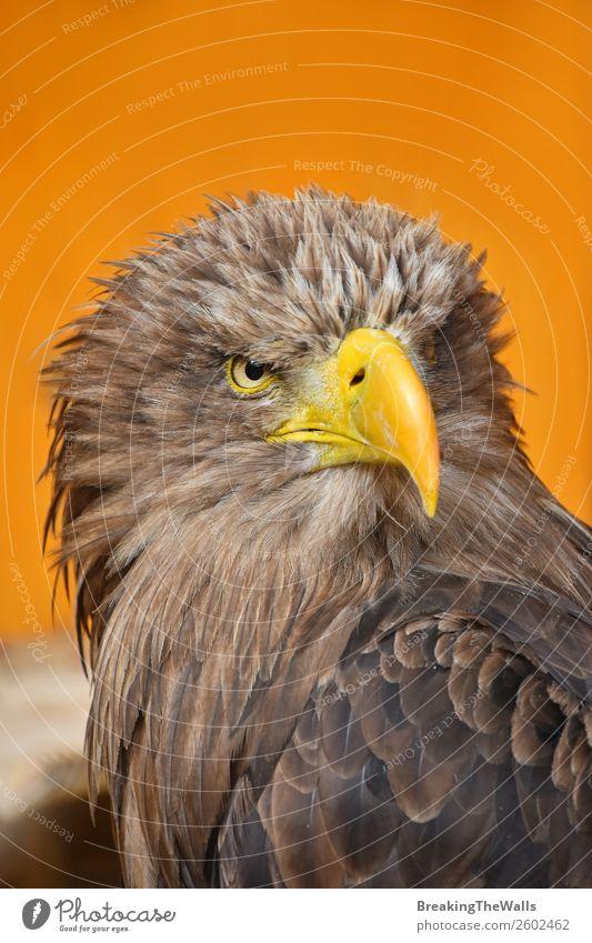 Nahaufnahme des Vorderbilds eines Seeadlers mit weißem Schwanz. Natur Tier Wildtier Vogel Tiergesicht Zoo 1 beobachten dunkel wild braun gelb Wachsamkeit Adler