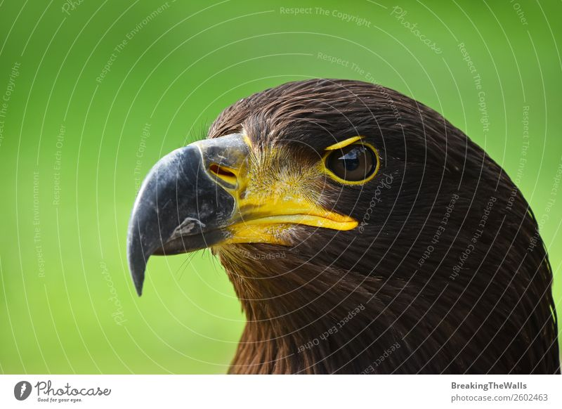 Nahaufnahme des Profilporträts des Steinadlers über Grün Sommer Natur Gras Tier Wildtier Vogel Tiergesicht Zoo 1 beobachten dunkel wild braun grün Wachsamkeit