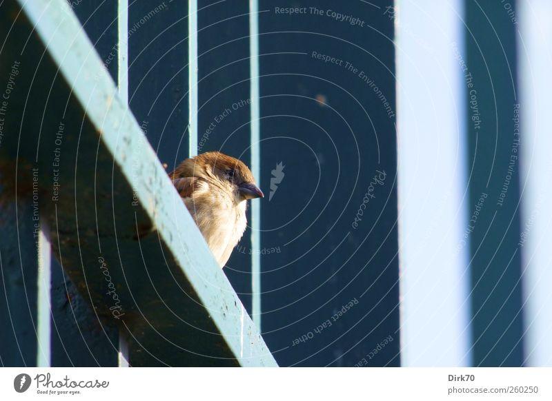 Gefiederter Zaungast Sonne Sonnenbad Zaunpfahl Tier Wildtier Vogel Spatz Sperlingsvögel Haussperling 1 Strebe Stahlträger Balken Metall Streifen beobachten