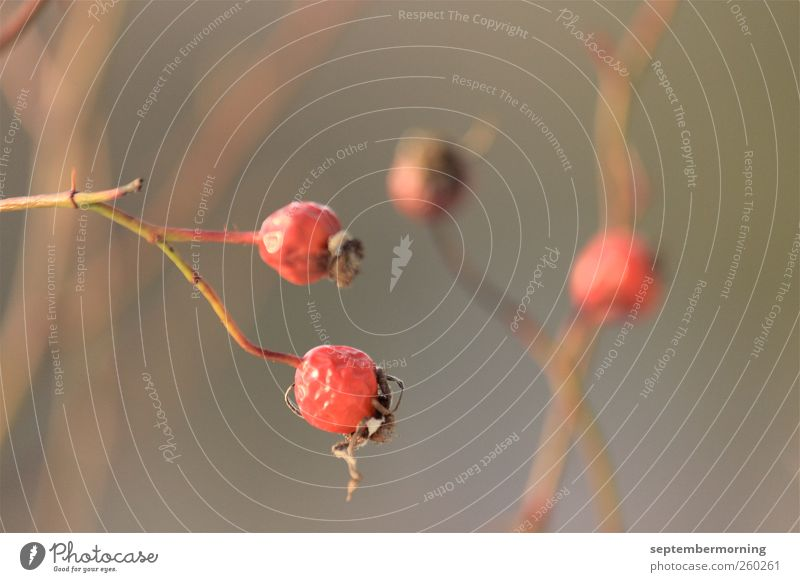 Hagebutten rot Pflanze ruhig Herbst braun Wandel & Veränderung