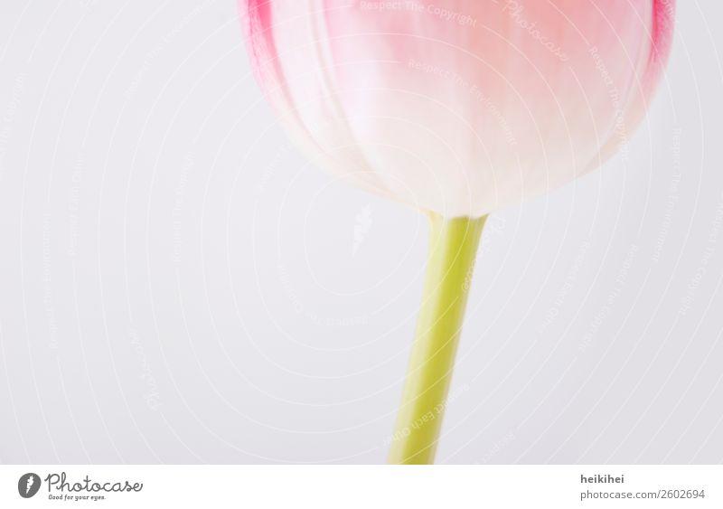 Natürlich geometrisch II Pflanze Tulpe Blüte natürlich grün rosa weiß Hintergrund neutral hell Bildausschnitt Detailaufnahme Nahaufnahme Blütenkelch Blütenstiel