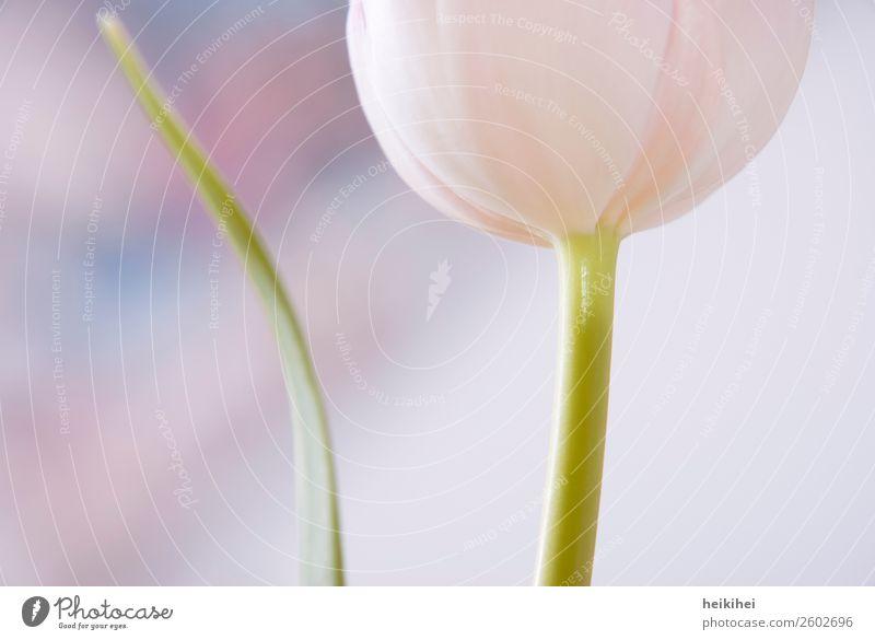 Natürlich geometrisch elegant Stil Design ruhig Natur Pflanze Frühling Tulpe Blatt Blüte Garten Zufriedenheit Genauigkeit Kreativität Blume Blumengruß Gruß rosa